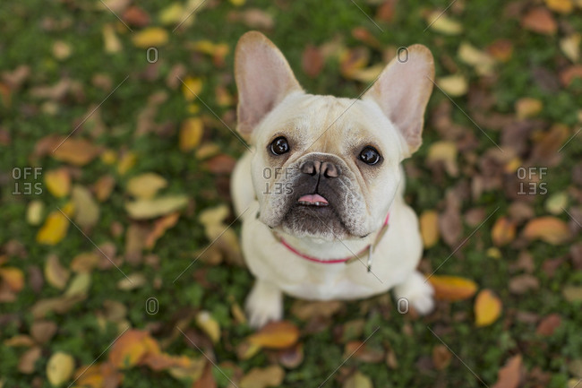 French bulldog standing in grass looking up with tongue out