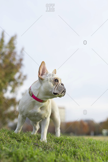 French bulldog standing in grass looking to the side