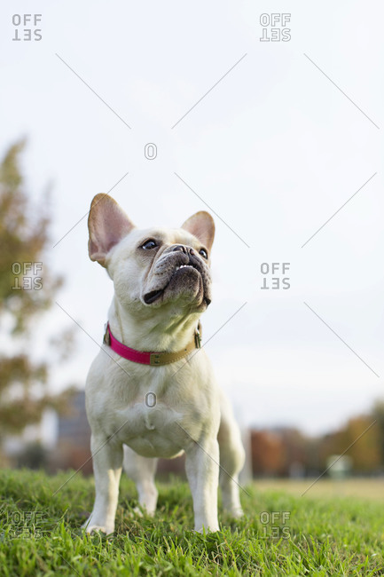 French bulldog standing in grass looking up