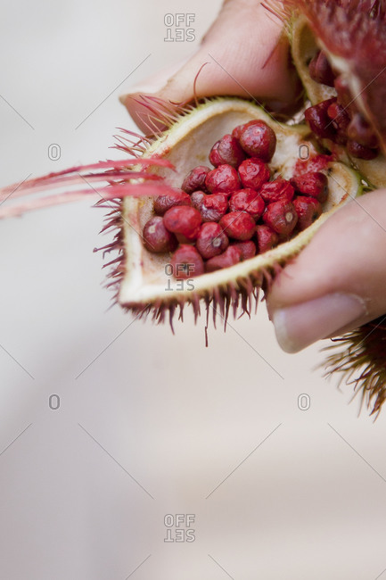 Achiote seeds, commonly used by the Achuar tribe to make face paint