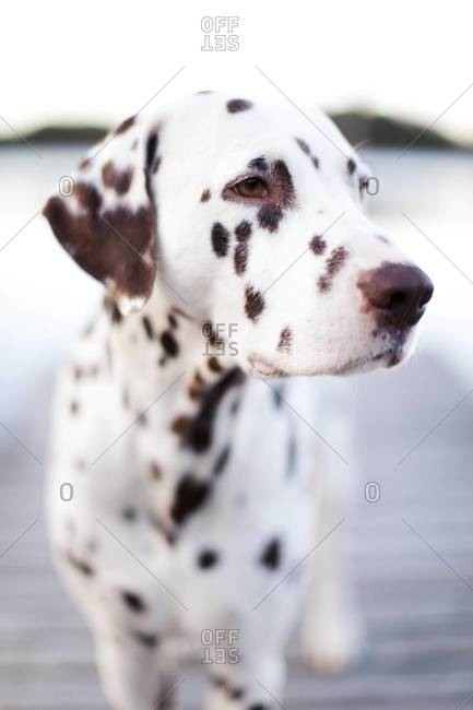Dalmatian dog looking away