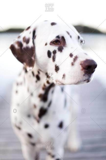 Dalmatian dog looking away