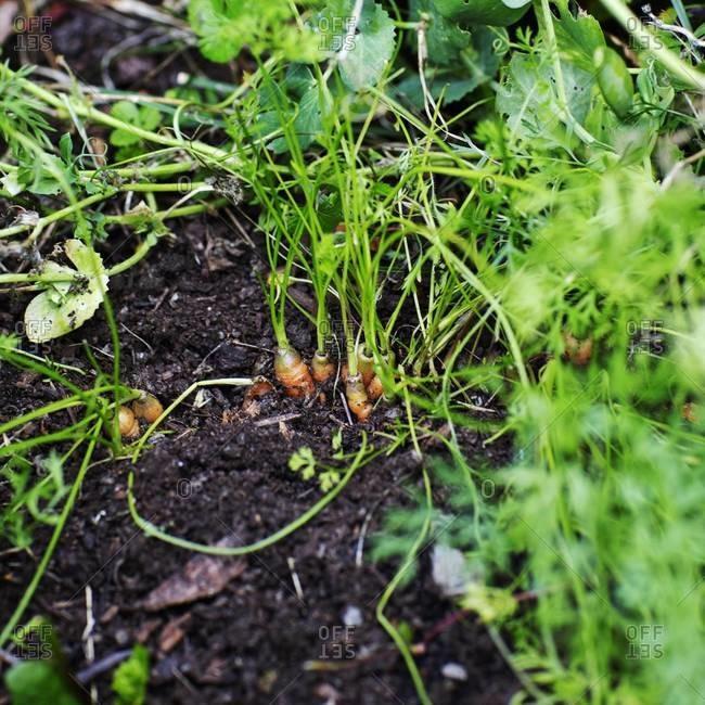 Carrots in a garden - Offset