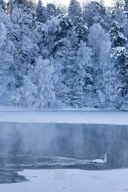 Swan on water, Nacka, Sweden
