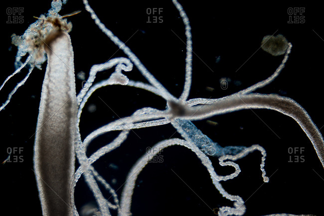 Microscopic view of a Hydra animal