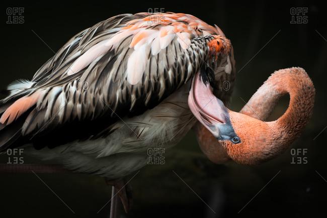 Close up view of a flamingo