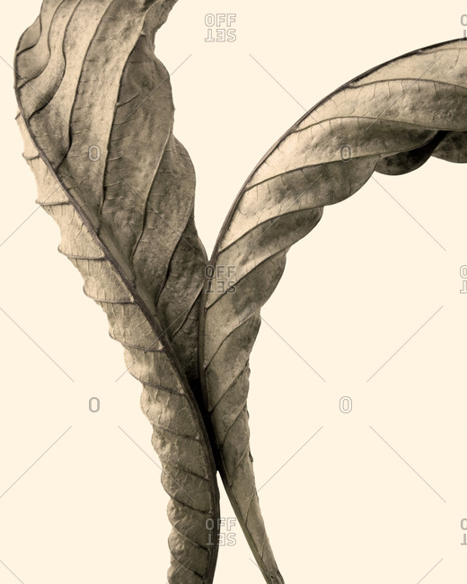 Still life of spiral autumn chestnut leaves detail