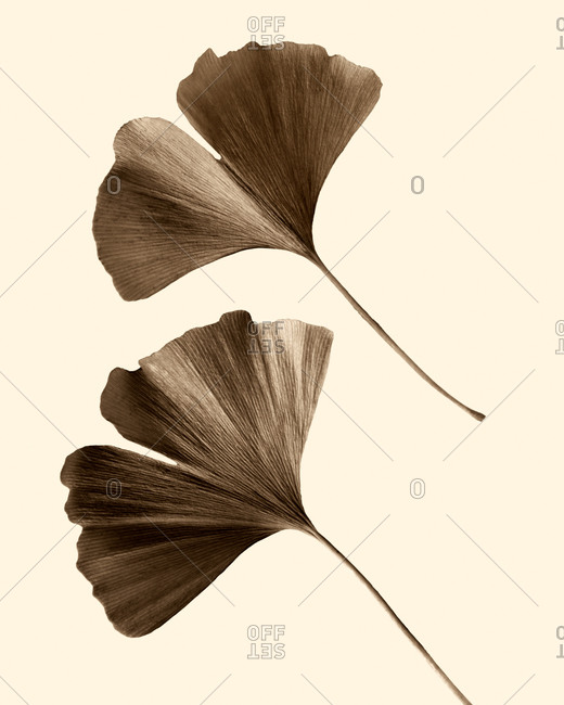 Floating autumn ginkgo leaves still life detail