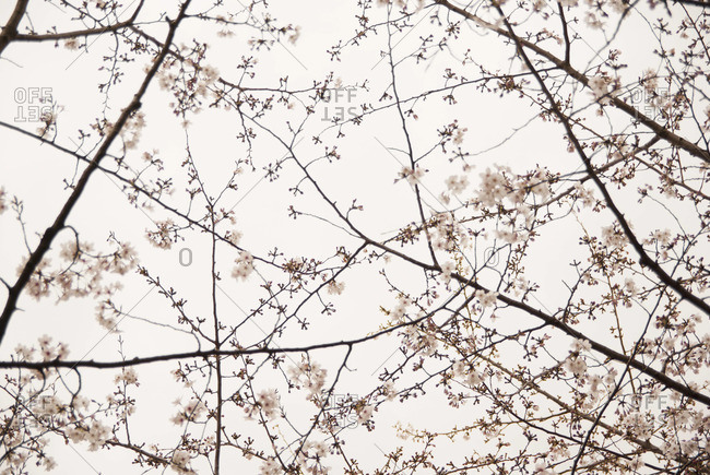 Blooming cherry blossom tree - Offset