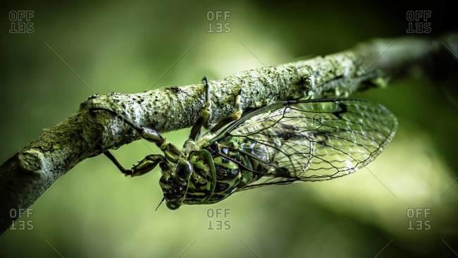Male cicada on a branch