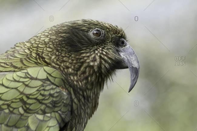 Portrait of a Kea parrot
