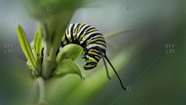 Close up of a Monarch caterpillar