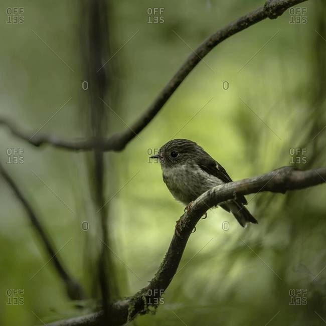 Female tomtit bird perched on a branch
