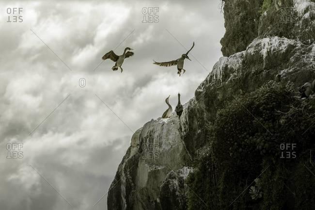 Spotted shag birds land on a ledge