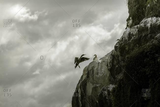 A spotted shag bird makes a landing