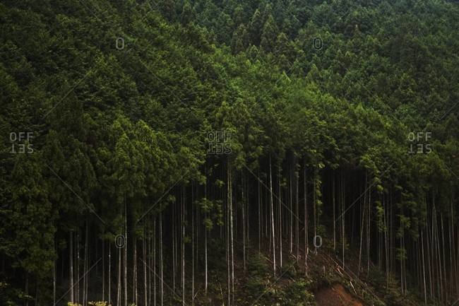 Trees of a dense forest in Japan
