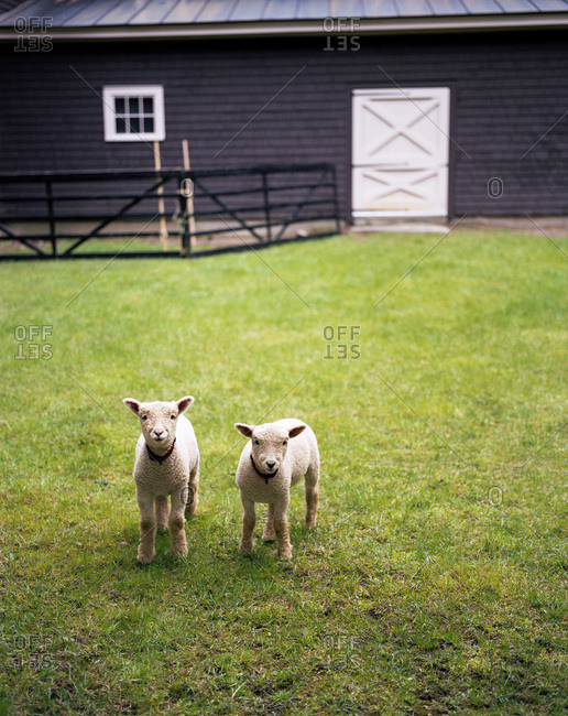 Two lambs on a farm