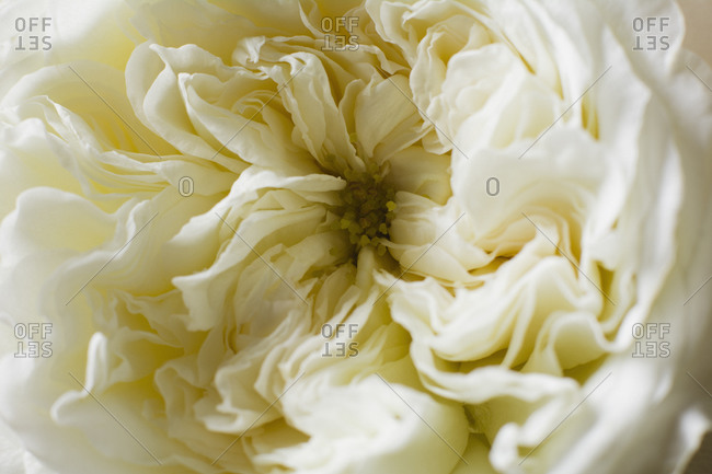 Close up of white flower head