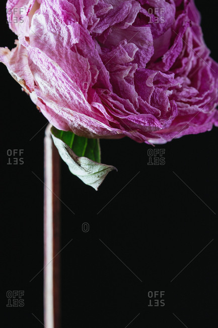 Close up of head of pink flower