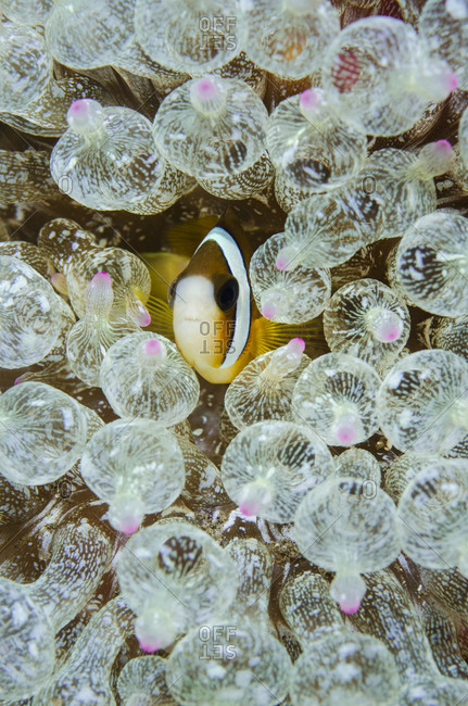 Anemone fish seeks protection amid stinging anemones