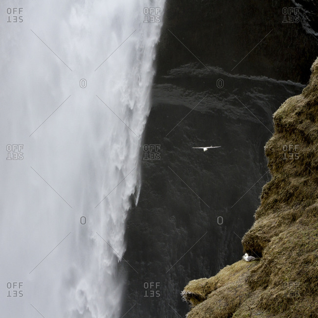 Seagull flies past Skogafoss waterfall