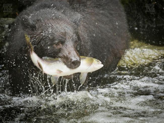 Close-up of black bear catching salmon