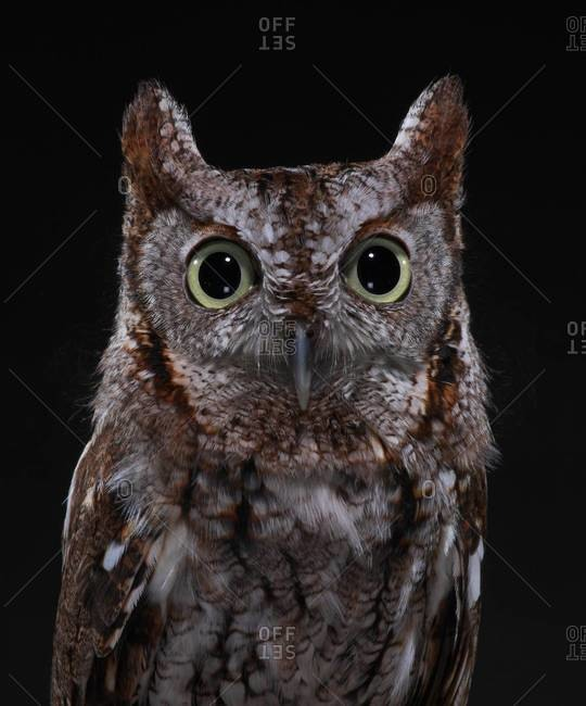Portrait of Eastern Screech Owl