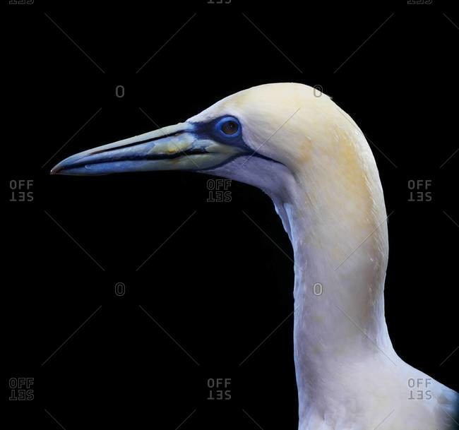 Profile of Northern Gannet