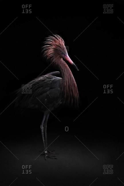 Full length of Reddish Egret