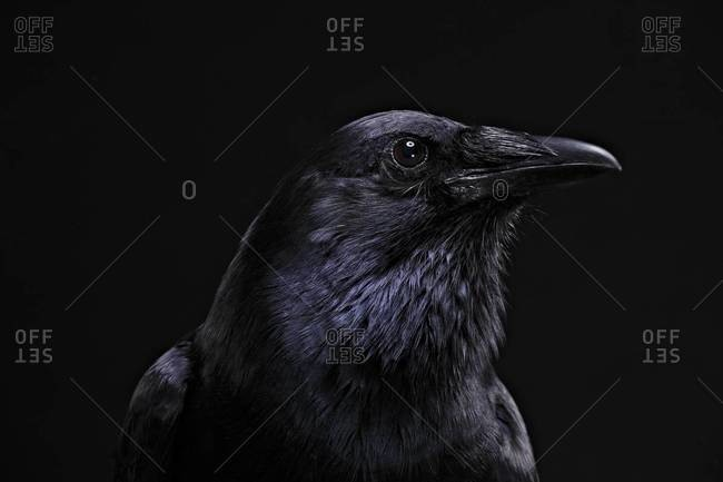 Profile of American Crow