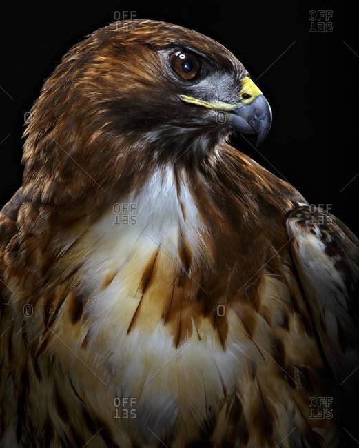 Portrait of Red-tailed Hawk
