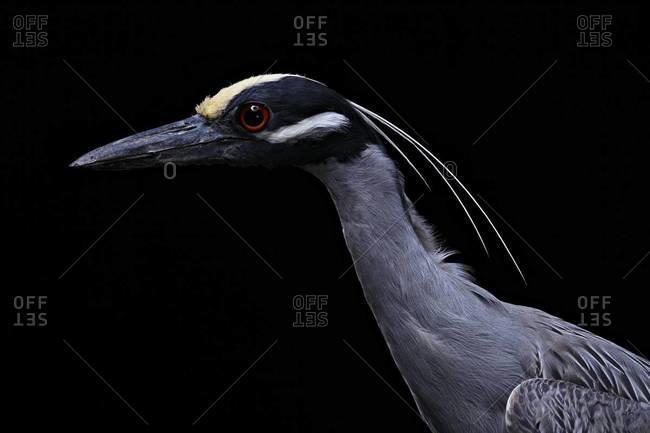 Profile of Yellow-crowned Night Heron