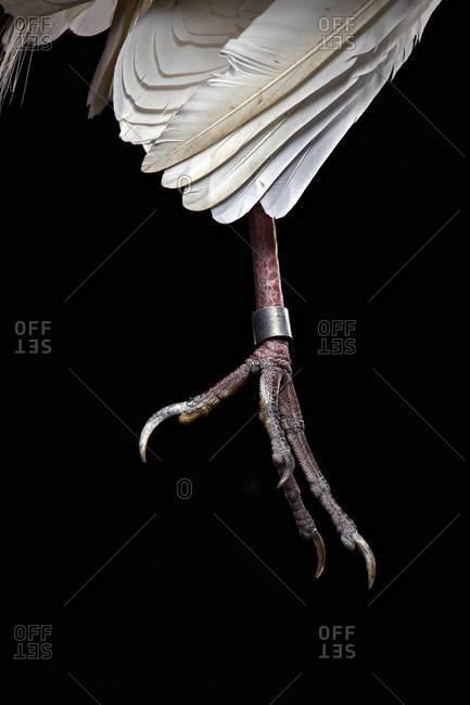 Ringed bird's leg