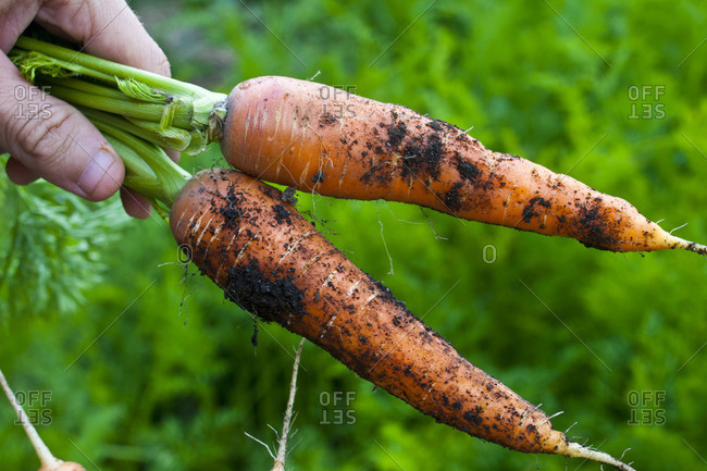 Hand holding two carrots