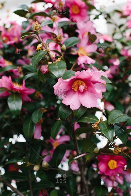 Wild rose growing in garden