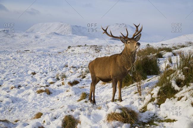Wild deer at Rannoch Moor, Scotland