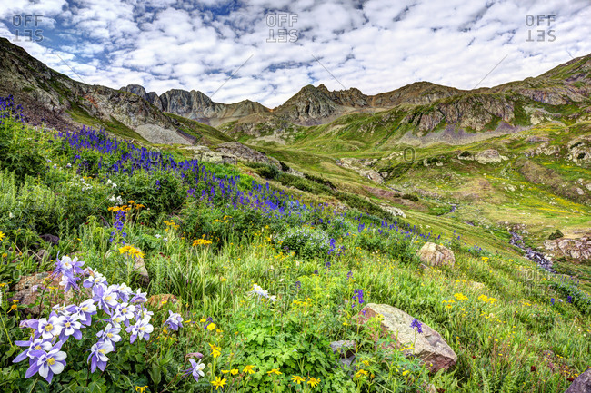 Wildflowers in American Basin in the San Juan Mountains