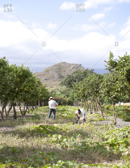 South Africa - March 29, 2012: People harvesting produce at a garden