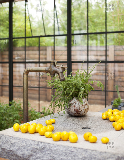 Plant and lemons by greenhouse faucet
