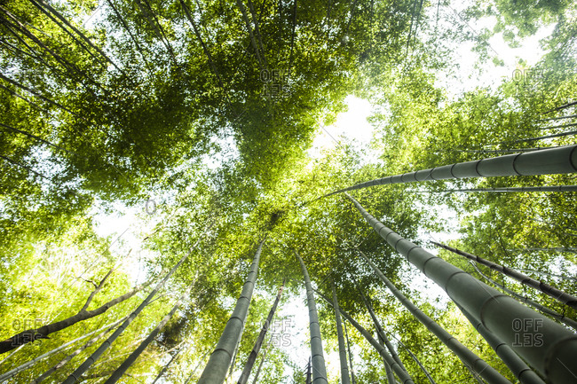 A grove of bamboo trees at the Sagano Bamboo Forest, Arashiyama district, Kyoto, Japan.