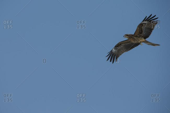 Black-eared Kite in flight over blue sky