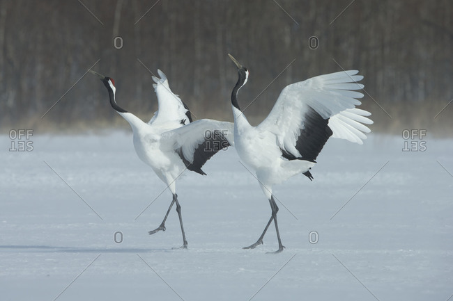 Pair of Red-crowned Cranes perform a mating dance on snowy field