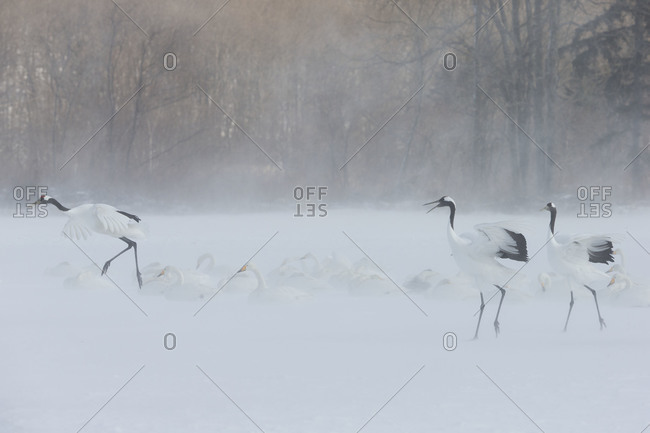 Red-crowned cranes and Whooper swans on snowy field