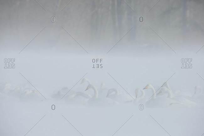 Whooper Swans on frozen lake in island Hokkaido, Japan