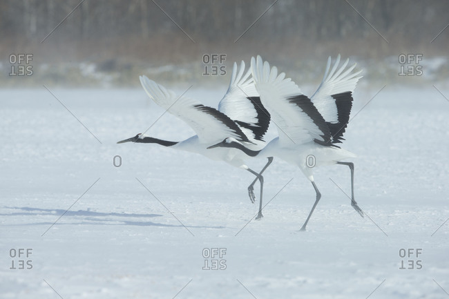 Red-crowned cranes takeoff synchronously - Offset