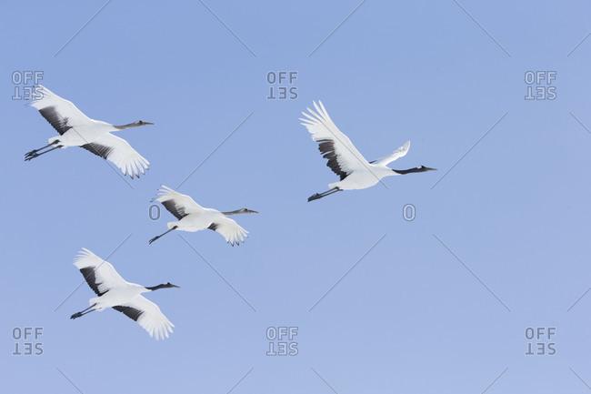 Red-crowned cranes in flight, Hokkaido, Japan
