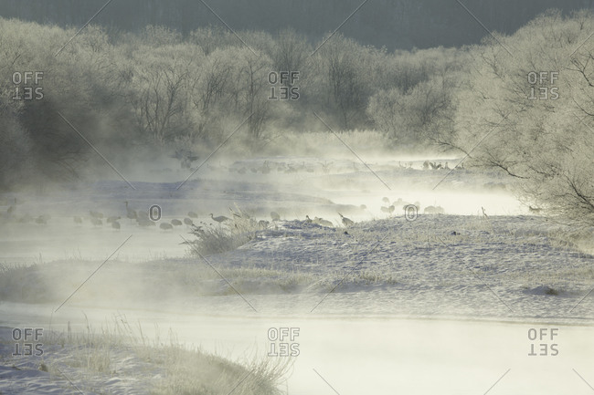 Red crowned cranes in frozen river at sunrise in Hokkaido, Japan