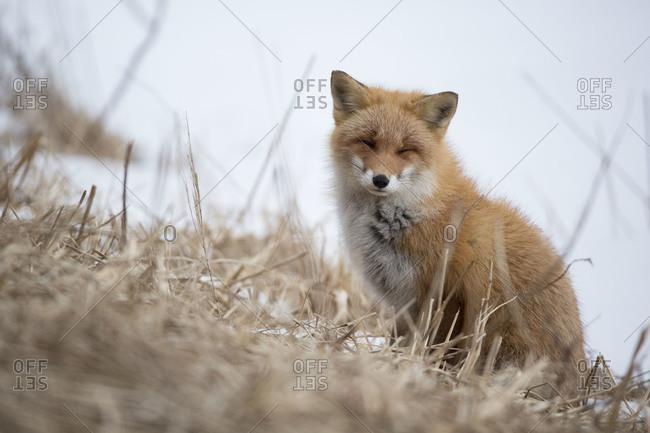 Close up of Hokkaido fox