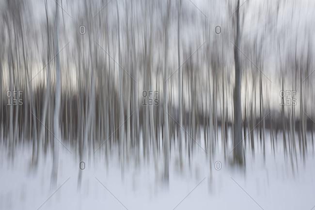Abstract image of birch trees in Hokkaido, Japan