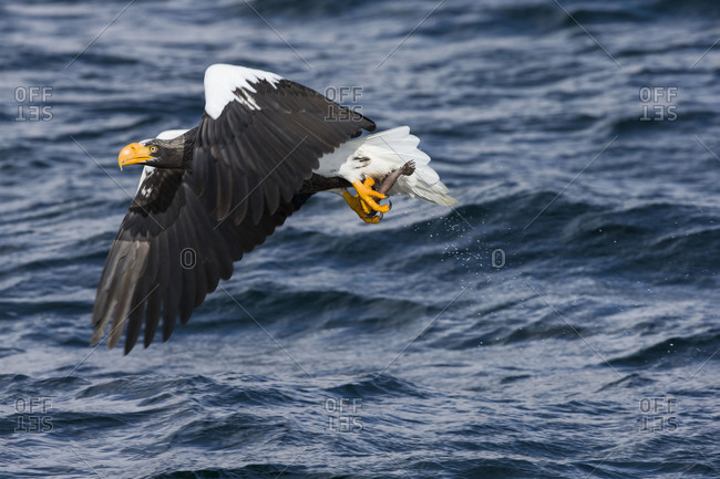 Steller's Sea Eagle flying with its prey